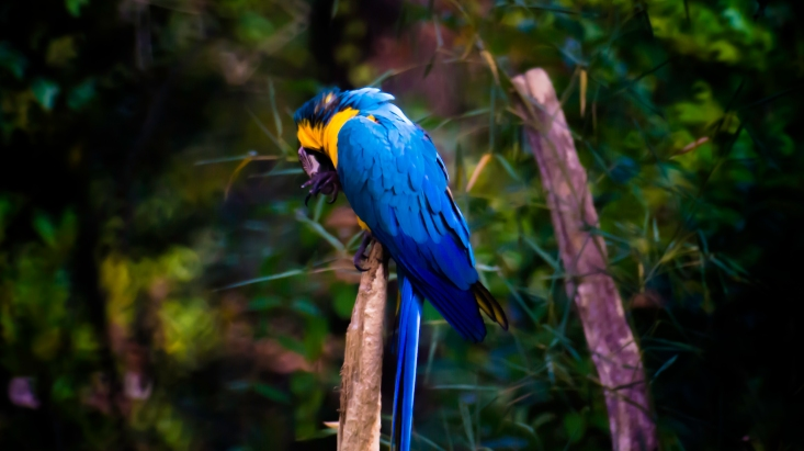 Ara bleu feeling-art.com