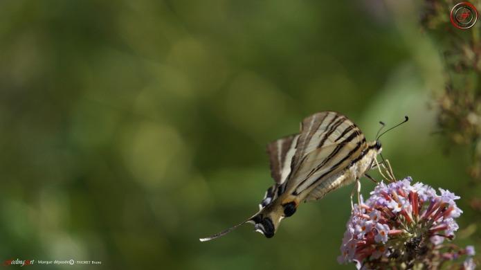 nectar profil droit