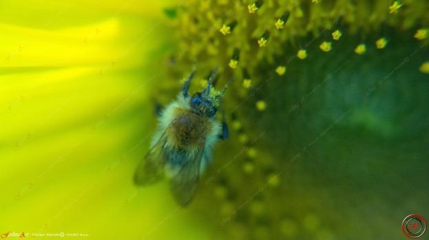 Pollen III