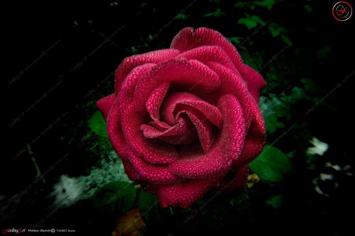 Un matin Rose HQ